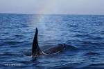Orcinus orca in Rainbow(2014/10/19)