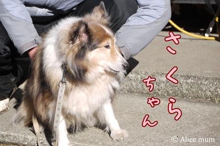 29 sakurachan mini