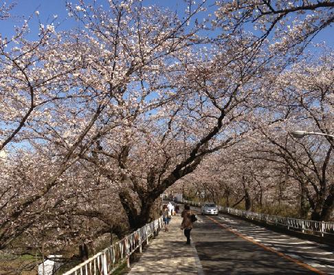 千葉大学(桜)