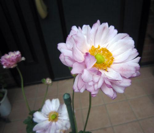 八重咲き複色ピンク
