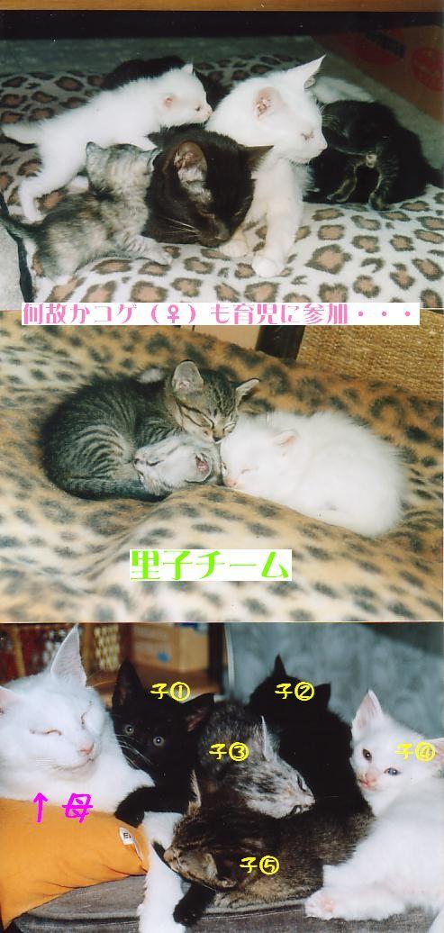 猫にSweets-シロさんファミリー