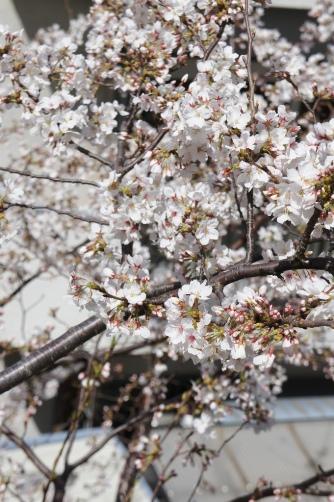 サカスの桜