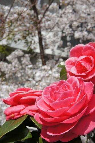 乙女椿と桜