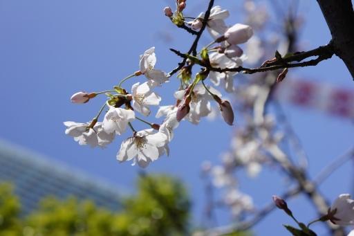 桜咲く2013