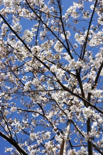 赤坂サカスの桜70
