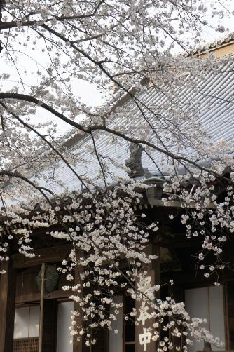 201303上野・寛永寺と桜