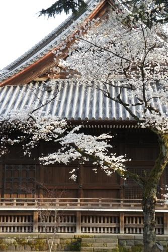 201303上野・寛永寺の桜