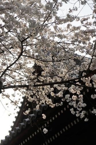 201303上野・寛永寺屋根と桜