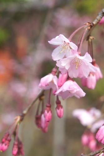 201303上野・枝垂れ桜