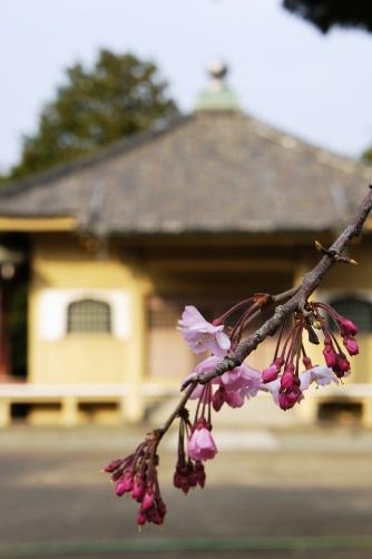 201303上野・枝垂桜