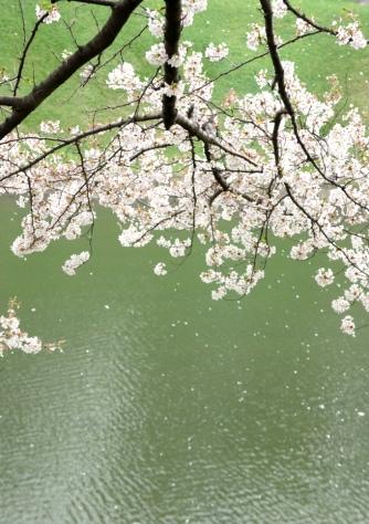 お濠に散る桜