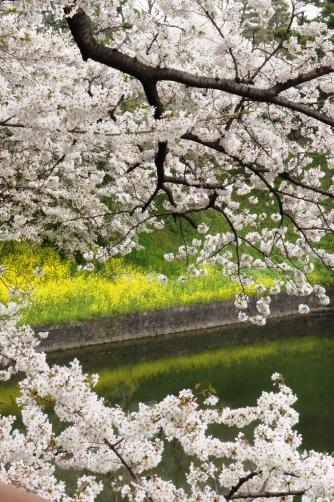 お堀の桜と菜の花