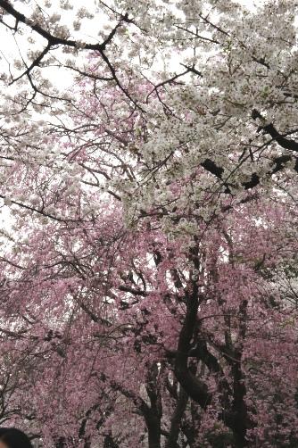 半蔵門2013 色んな桜