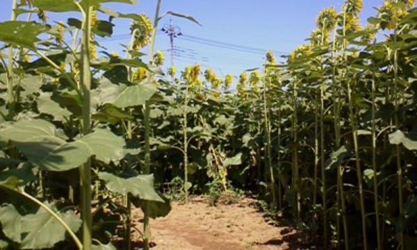 ひまわり畑 (4)