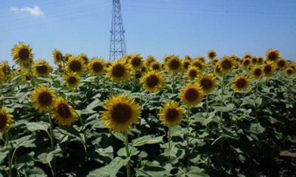 ひまわり畑 (1)