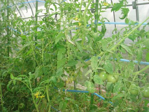 2012.9.181番花脇芽と2番花脇芽