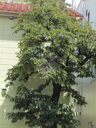 柿の木before