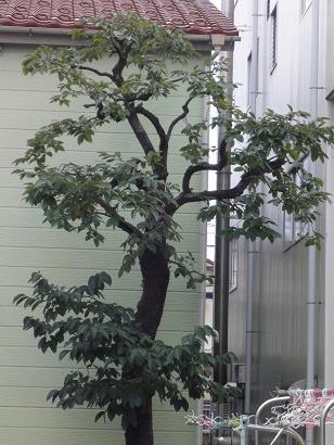 柿の木after
