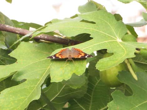 桑の上の蝶