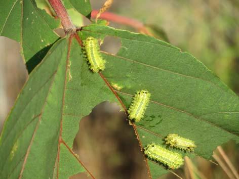 イラガの幼虫