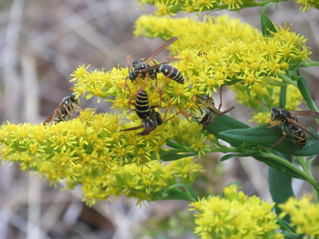 蜂の花粉集め