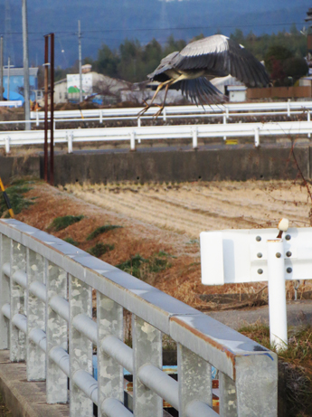 2橋の上のサギ1