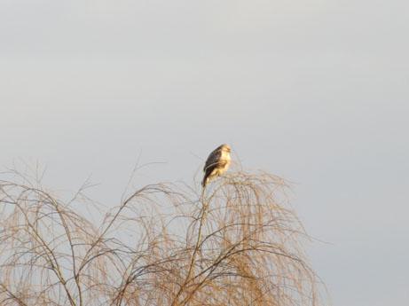 1新年の鷹