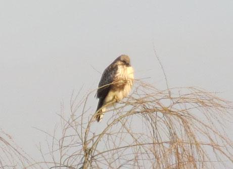 2新年の鷹