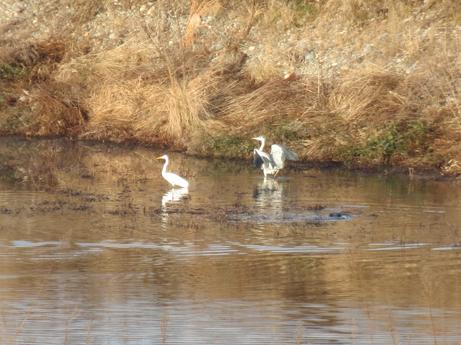 2013 1 6三羽の水鳥