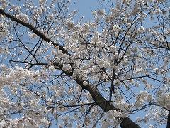 一目千本桜2013.4.14_3