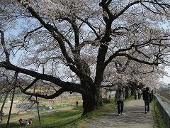 一目千本桜2013.4.14_4