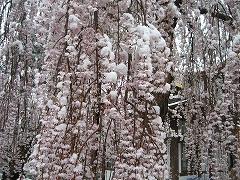 枝垂れ桜の雪
