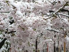 八重桜の雪