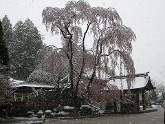 志波神社の枝垂れ桜