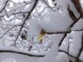 雪マンサク