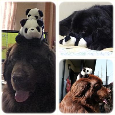 cats panda2