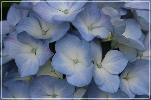 2012_0610ajisai0002.jpg