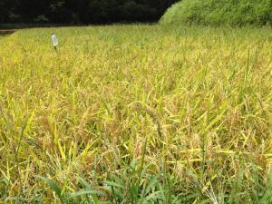 揺れる、稲たち