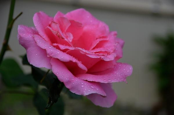 今日の花 薔薇-1
