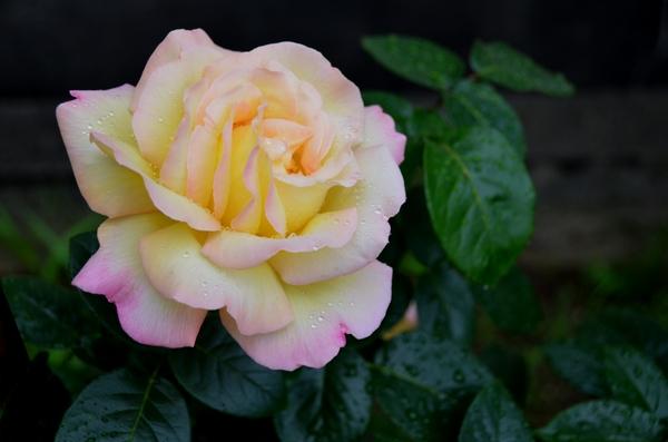 今日の花 薔薇-3