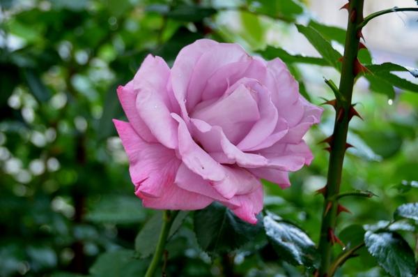 今日の花 薔薇-4