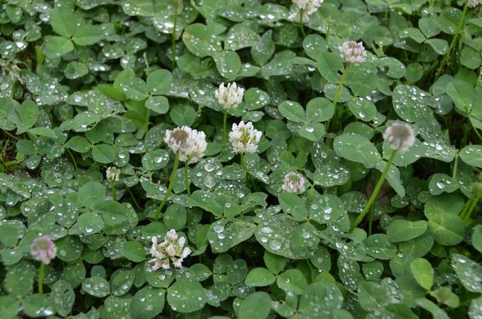 雨 クローバー