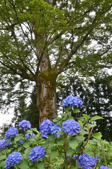 紫陽花と大樹-1