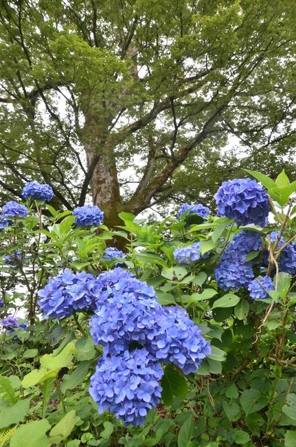 紫陽花と大樹-2