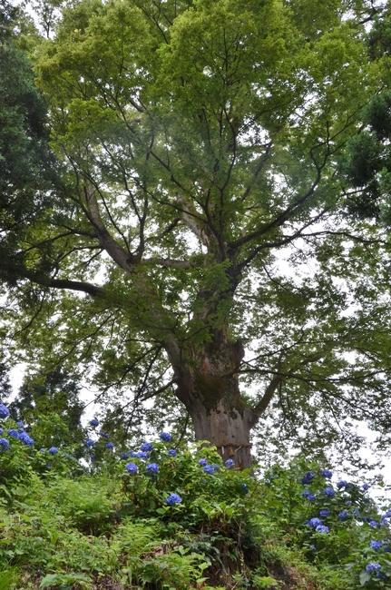 紫陽花と大樹-3