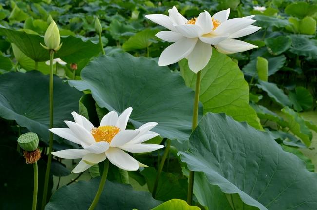 レンコン畑 花-2