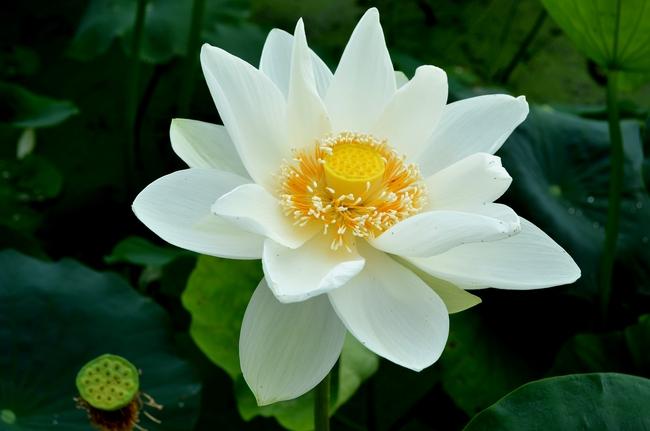 レンコン畑 花-4