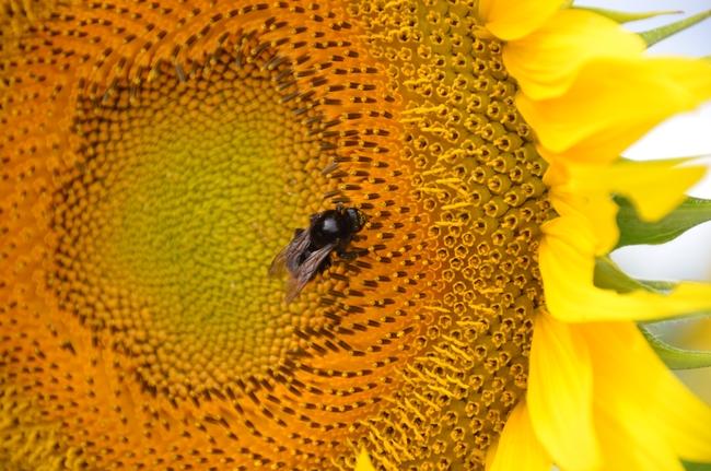 ひまわり 蜂-3