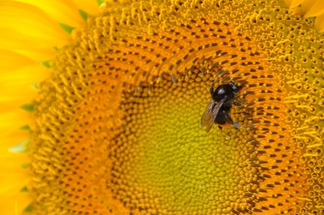 ひまわり 蜂-4