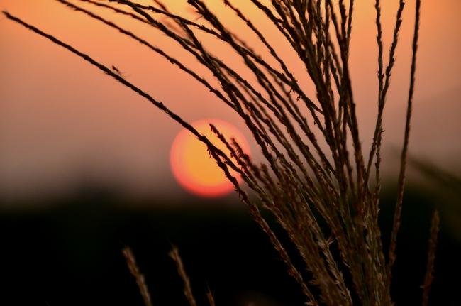 夕陽 すすき-2